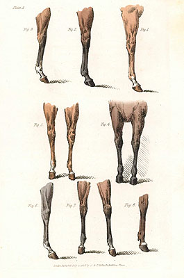 Horse Pictures - Fore-legs